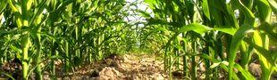 Illustration Les courses poursuites dans un champ de blé ou un champ de maïs...