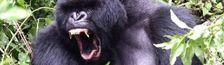 Cover Les singes et gorilles au cinema