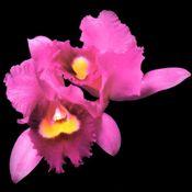 Pochette Orchid