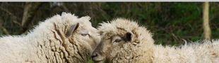 Cover Les chiffres ne trompent pas, je suis un mouton