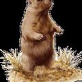 Avatar Marmotte-nudiste