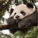 Avatar Panda Désinvolte
