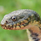 Affiche Chasseur de serpent du 30