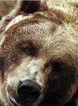 Photo Bart the Bear (II)