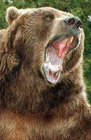 Photo Bart the Bear