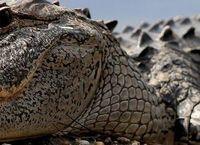Cover Les_meilleurs_films_de_crocodiles_alligators