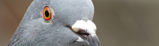 Cover La collection d'un pigeon de Nintendo (switch)