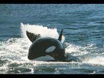 Affiche Les orques de Crozet : David et les Goliaths
