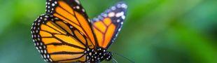 Cover Mélodies pour papillon jardinier à Saint-Domingue
